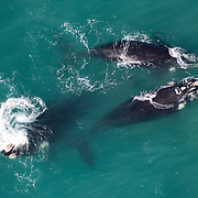 Three adult southern right whales (Eubalaena australis) engaged in social activity, viewed from the air. Photographed with the permission of the Department of Environmental Affairs, South Africa.