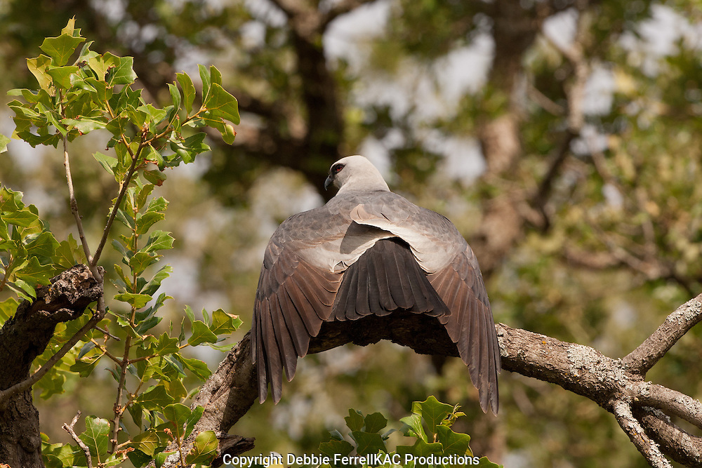 Mississippi Kite from behind  sunning with wings speard