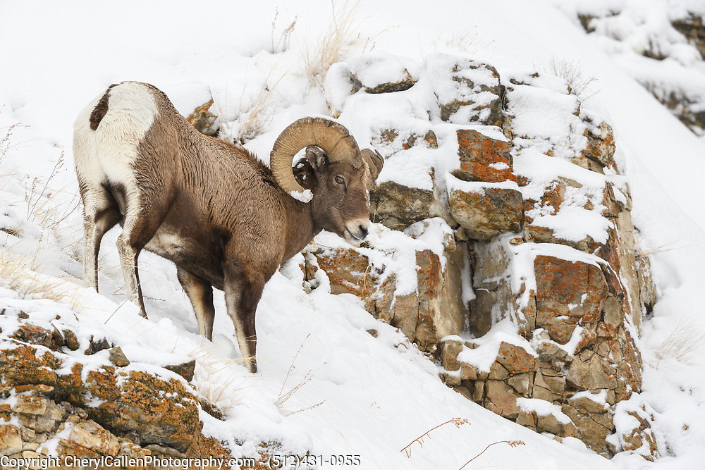 Bighorn Sheep Ram climbing the mountain in the snow