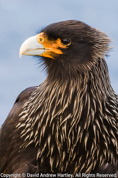 Striated Caracara (Phalcoboenus australis), Sealion Island, Falkland Islands, South Atlantic Ocean