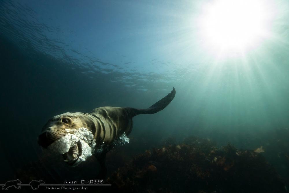 Sea lion, California
