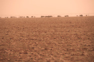 Cattle, dust storm, east of Tulia, Texas, Texas Panhandle