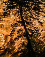 Sunlight on sandstone wall creates silhouette of Douglas fir tree growing in narrow canyon of the upper North Fork of the Virgin River, © 1990 David A. Ponton