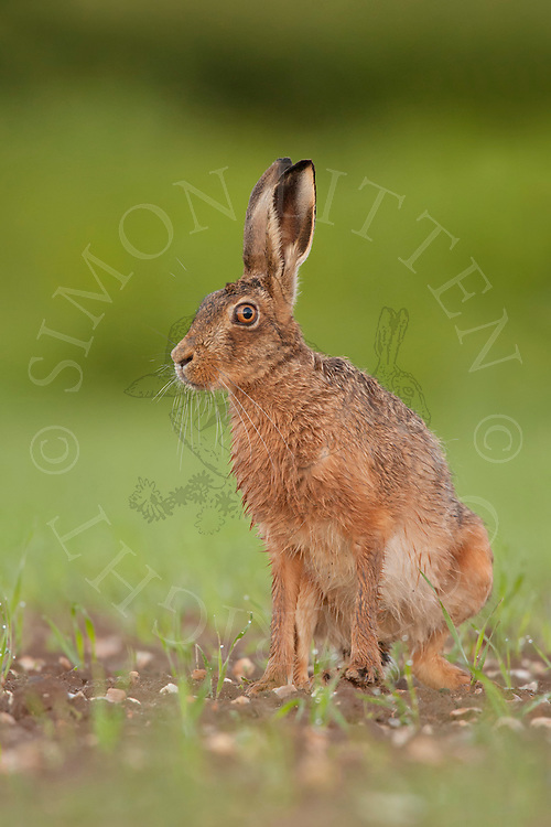 European Hare (Lepus europaeus) adult alert in set-aside field planted for bird cover, Norfolk, UK.