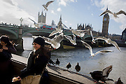 Tourists surrounded by gulls hovering above on London's Southbank, opposite the Weswtminster parliament.