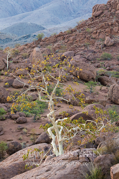 The Damaraland region of Namibia is very dry, and features an occasional white-barked tree growing from the rocks.