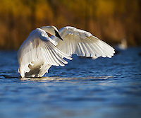 Trumpeter stretching it's wings in Autumn setting.  The trumpeter swan is the largest waterfowl species native to North America (Cygnus buccinator).