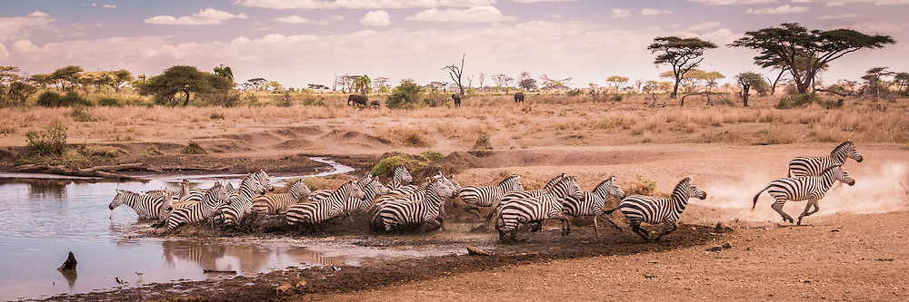 Plains Zebra Zebra bolt from a watering hole in the Serengeti, escaping from some danger, real or imagined.