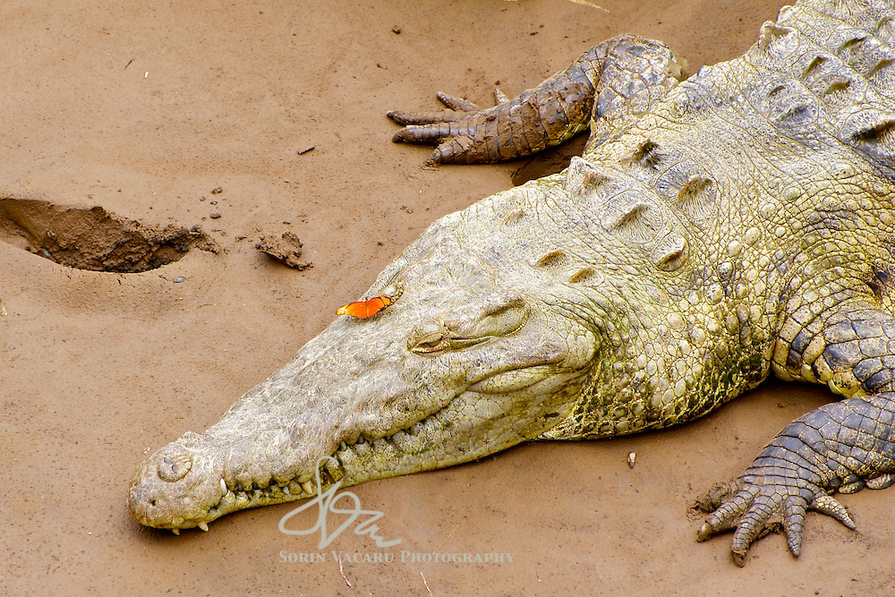 14 ft Crocodile on the Tarcoles River bank with an orange butterfly on its eyelid