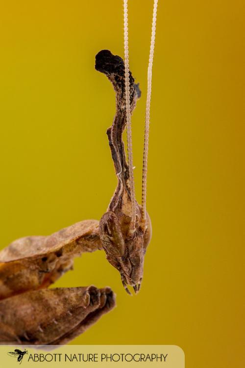 Ghost Mantid (Phyllocrania paradoxa) - female<br /> captive individual<br /> 2/20/17<br /> J.C. Abbott &amp; K.K. Abbott