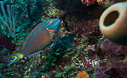 Stoplight parrotfish swimming along the coral reef off the coast of Belize.