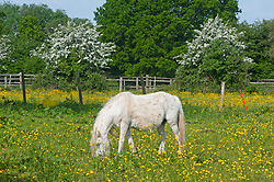 © Licensed to London News Pictures. 23/05/2019.<br /> Downe,UK.A white horses grazing in a sunny yellow field of buttercups in Downe village, Kent. Photo credit: Grant Falvey/LNP
