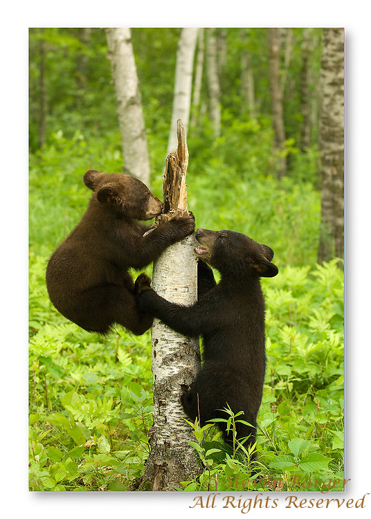 Two black bear cubs playing with a tree stump.