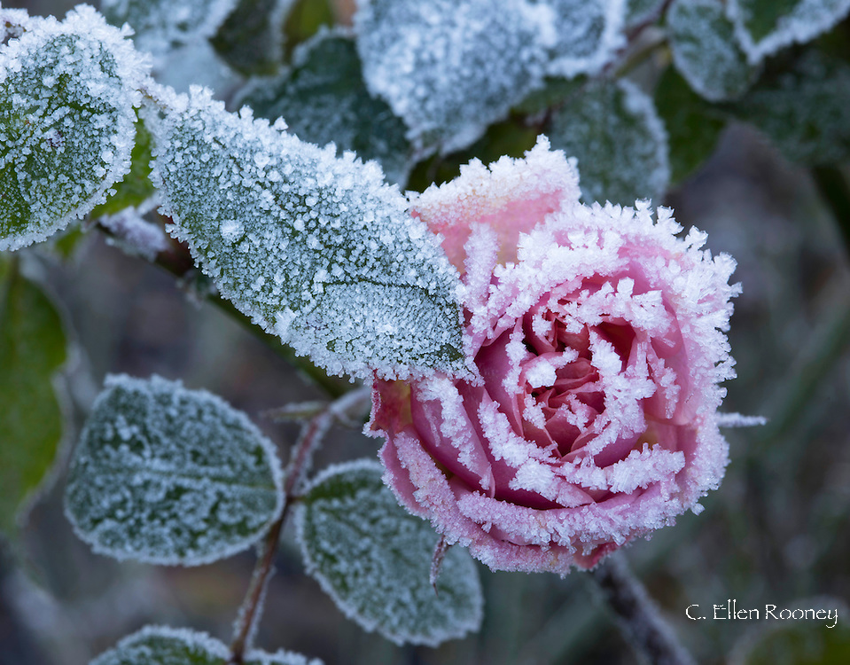 Rosa Song & Dance 'Frydishy', a frost covered pink rose in the rose garden at The Royal Horticultural Society's Garden Wisley, Woking, Surrey, UK