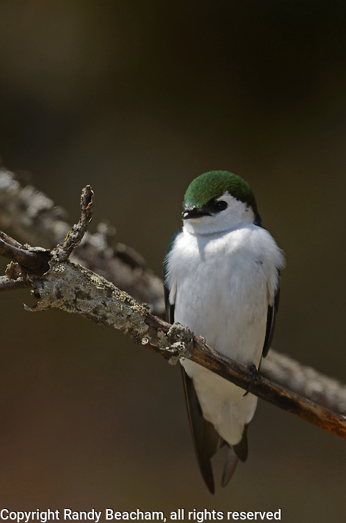 Violet-green swallow in spring. Kootenai Falls Wildlife Management Area outside Libby, Montana.