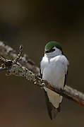 Violet-green swallow in spring. Kootenai Falls Wildlife Management Area outside Libby, Montana.