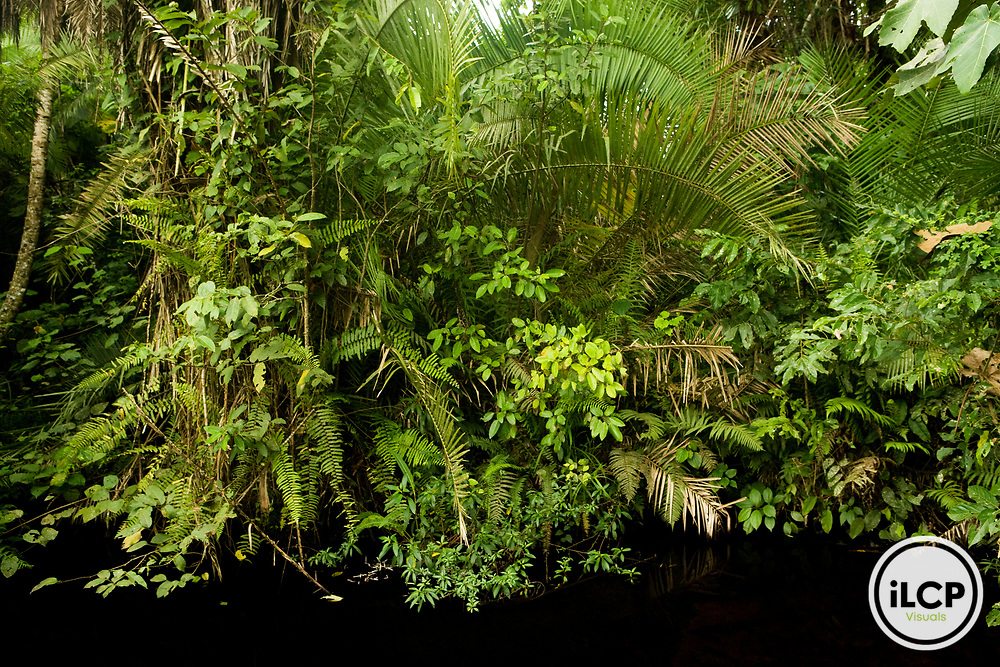 Tropical rainforest in swamp, Bigodi Wetland Sanctuary, Magombe Swamp, western Uganda