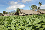 Tobacco plantation in Santiago province, Dominican Republic, in the Caribbean. The thatched huts are used for drying the tobacco leaves. This region is famous for its production of tobacco and cigars, renowned as the best in the world. Picture by Manuel Cohen