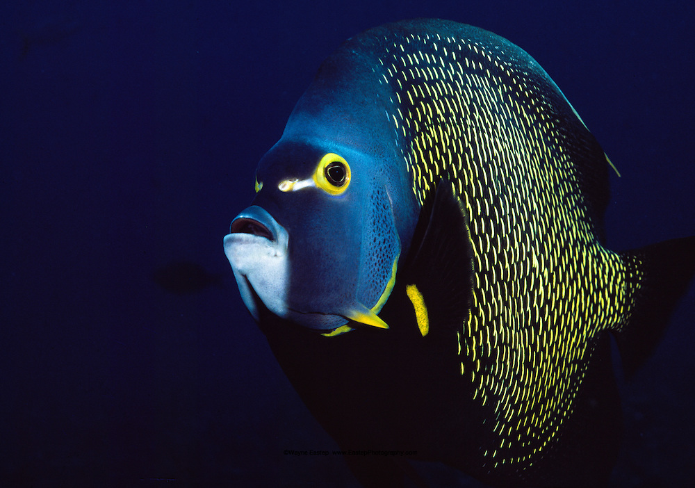 French Angelfish (Pomacanthus paru) Bonaire