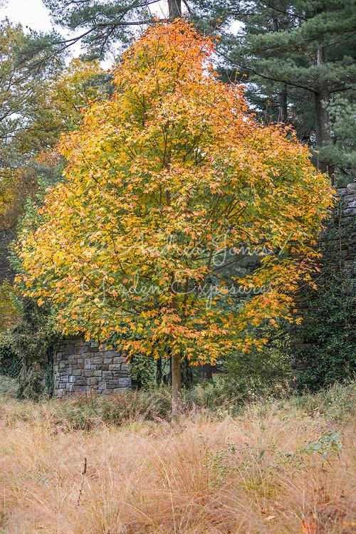 Acer saccharum (Sugar maple) with golden autumn foliage by the Ruin Garden at Chanticleer Garden, PA, USA