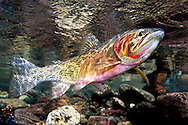 Westslope Cutthroat Trout<br />