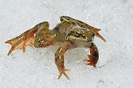 Pyrenaic Frog, an endangered species named by science only ten years ago.  Ara River . Bujaruelo Valley. Ordesa National Park, Huesca, Aragon, Spain. Pyrenees