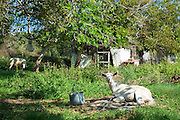 Tethered goats in farmyard in Corfu, , Greece