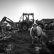 A digger working in the tent camp of San Ferdinando. In january the Municipality started the work to get more power to the electric system, often not working. The sheep is waiting to be slaughtered