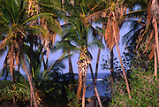Coconut grove, Keawaiki Bay, Island of Hawaii<br />