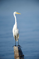Great Egret (Ardea alba) perched on log in Lake Chapala, Ajijic, Jalisco, Mexico.
