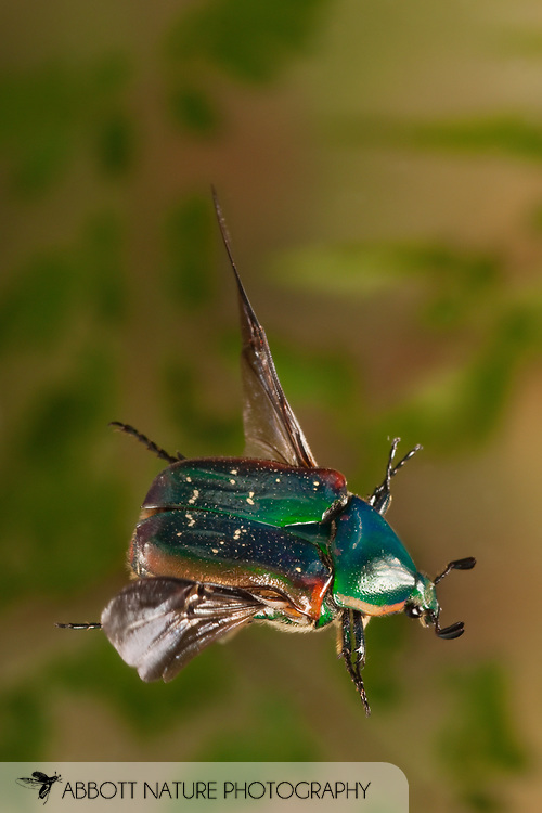 Euphoria fulgida (Scarabaeidae) in flight<br /> TEXAS: Travis Co.<br /> Austin<br /> 26.March.2009<br /> J.C. Abbott