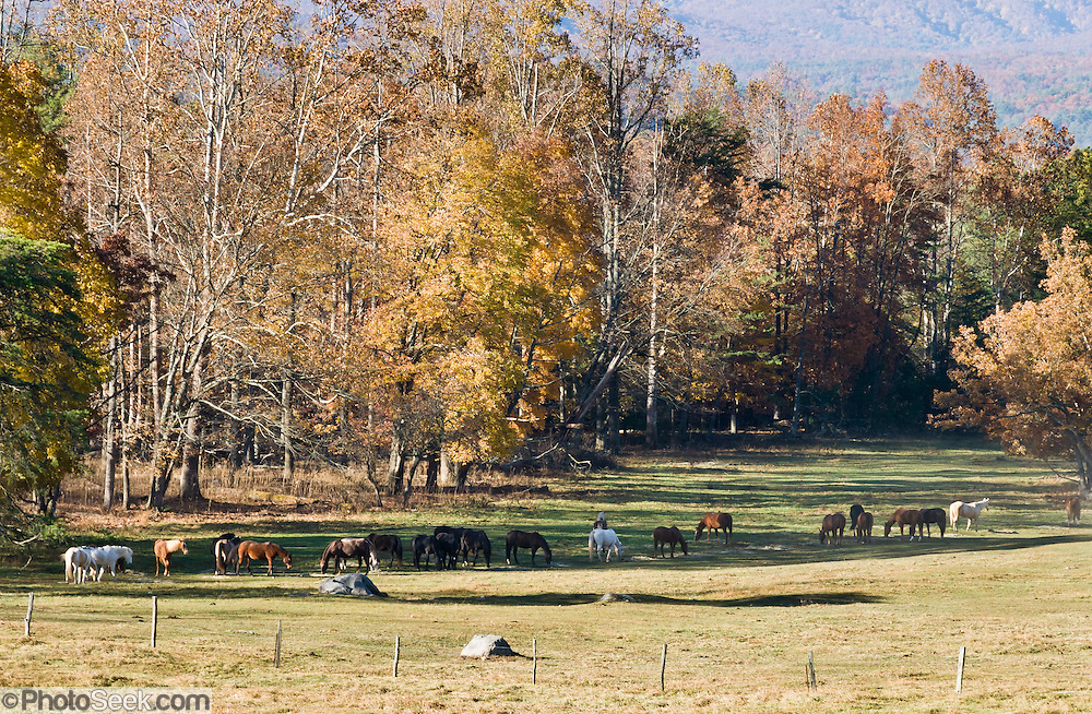 "Horses graze on a ranch preserved in Cades Cove, an isolated valley located in the East Tennessee section of Great Smoky Mountains National Park, USA. Cades Cove was once home to numerous settlers. Today Cades Cove is the most popular destination for visitors to the park, attracting over two million visitors a year, due to its well preserved homesteads, scenic mountain views, and abundant display of wildlife. Cades Cove is a type of valley known as a ""limestone window,"" created by erosion that removed the older Precambrian sandstone, exposing the younger Paleozoic limestone beneath. The weathering of the limestone produced deep, fertile soil, making Cades Cove attractive to early farmers. More weather-resistant formations, such as the Cades sandstone which comprises Rich Mountain to the north and the Elkmont and Thunderhead sandstones which comprise the Smokies crest to the south have surrounded the cove, leaving it relatively isolated within the Great Smokies."