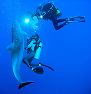 Dolphins in French Polynesia, rangiroa atoll tuamotu, playing with divers