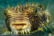A Florida Burrfish, Chilomycterus schoepfi, swims in the shallows of the Lake Worth Lagoon near the Blue Heron Brdige in Snger Island, FL