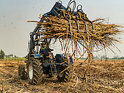 02 FEBRUARY 2016 - NONG LAN, KANCHANABURI, THAILAND: A sugar cane loader picks up sugar cane stacked in a field during the harvest in Kanchanaburi, Thailand. Thai sugar cane yields are expected to drop by about two percent for the 2015/2016 harvest because of below normal rainfall. The size of the crop is expected to increase slightly though because farmers planted more sugar cane acreage this year. Thailand is the second leading exporter of sugar in the world. Thai sugar growers are hoping a good crop would make up for shortages in global markets caused by lower harvests in Brazil and Australia, where sugar yields have been stunted by drought. Because of the drought in Thailand, sugar exports are expected to drop by up to 20 percent, contributing to a global sugar shortage. The drought is is also hurting the quality of Thai sugar, because sugarcane grown in drought is less sweet than normal so mills need to process more cane to make the same amount of sugar. Thai sugar farmers have lost 20 percent to 30 percent of their output this year because of the drought.          PHOTO BY JACK KURTZ