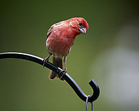House Finch. Image taken with a Nikon D5 camera and 600 mm f/4 VR lens (ISO 1600, 600 mm, f/5.6, 1/320 sec)