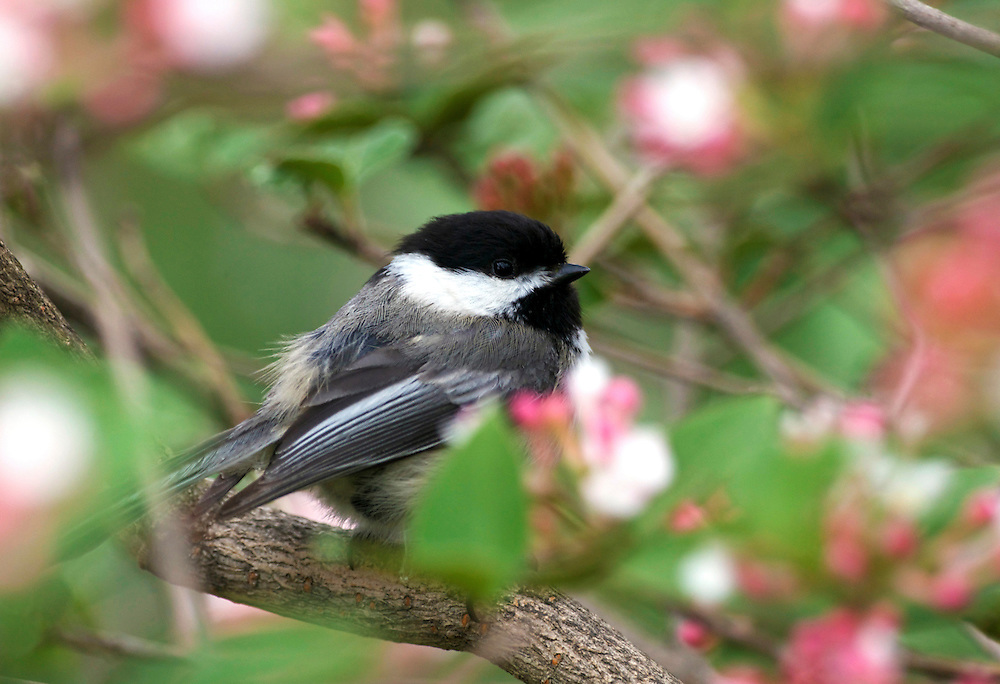 A chickadee perched on a cherry blossom tree looking into the camera.