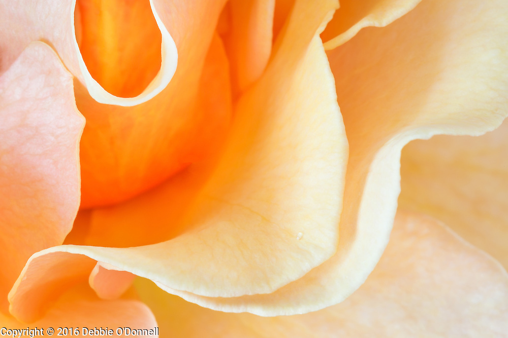 There are over 100 species of the rose, which vary widely in color, shape, and climate preference. A rose's color determines its meaning. Peach Roses can convey many different sentiments such as gratitude, appreciation, admiration or sympathy.
