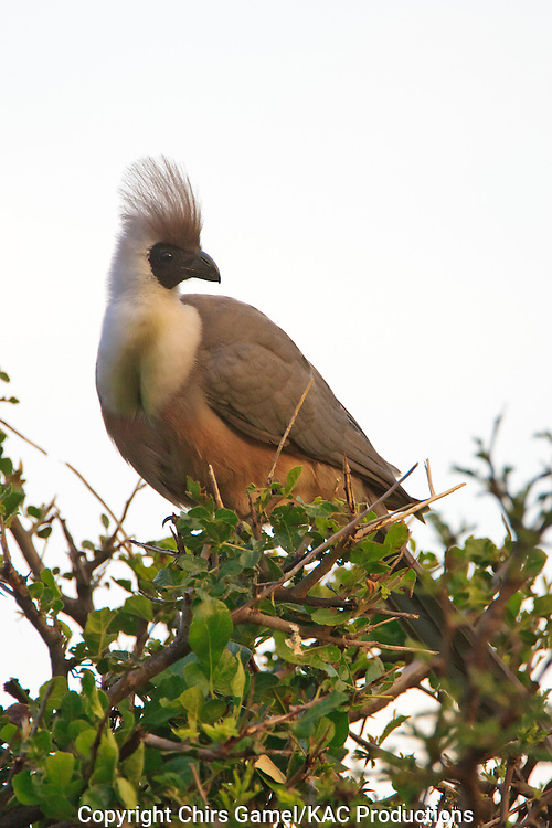 White-bellied Go-away Bird (Corythaixoides leucogaster) perched in a tree, Serengeti National Park, Tanzania, Africa