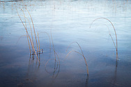 Detail of reeds on a frozen Loch a'Choarainn near Achnahaird in Scotland.