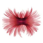 False color X-ray of a Gerber daisy (Gerbera sp).