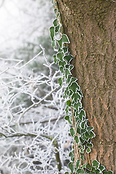 Common ivy in hoar frost growing up a tree trunk. Hedera helix