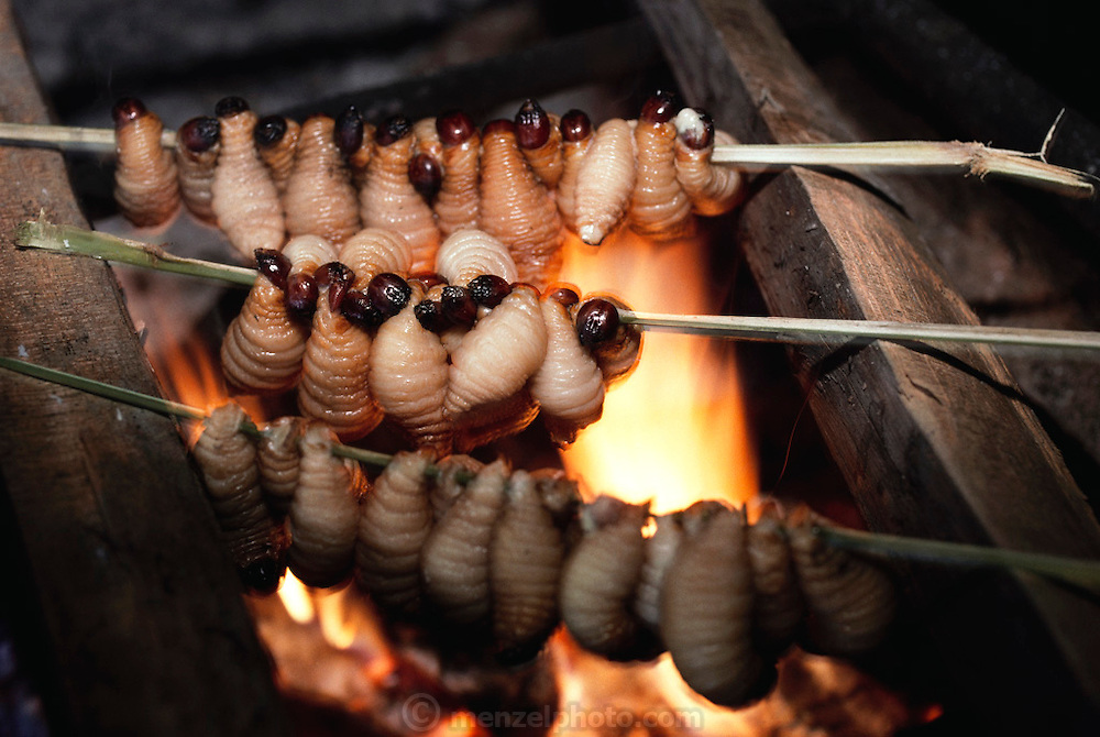 Skewered sago grubs (Rhynchophorus ferrugineus, the larvae of Capricorn beetles), roast over a fire in the longhouse in Sawa Village, Irian Jaya, Indonesia. When roasted on a spit, sago grubs are fatty and bacon-flavored, although the skins are rather chewy. Image from the book project Man Eating Bugs: The Art and Science of Eating Insects.