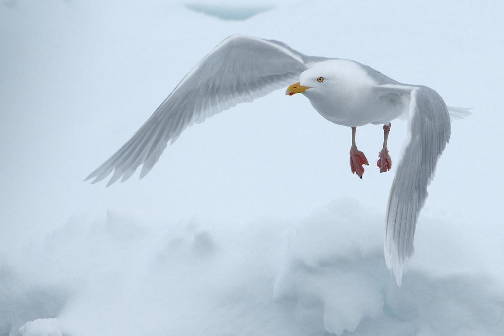 Glaucous gull / Larus hyperboreus<br /> Moselbukta<br /> Svalbard<br /> Norway