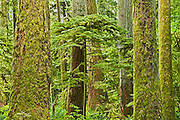 Young tree amidst ancient trees in Old growth temperate rain forest<br /> <br /> Sunshine Coast<br /> British Columbia<br /> Canada