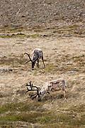 Reindeer (Caribou) in iceland