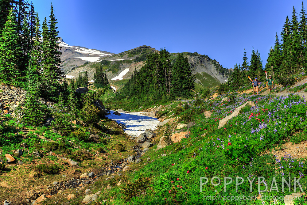 Paradise, Washington is the snowiest place on Earth so it takes until August for the snow to melt and the spring wildflowers to come up.  The result is acres of alpine meadows blanketed in swaths of lupine, paintbrush and red mountain heather.