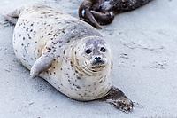 Harbor Seal on Children's Beach in La Jolla, San Diego, California smiles.