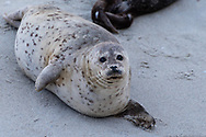 Harbor Seal on Children's Beach in La Jolla, San Diego, California smiles.