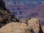 Rock squirrel (Latin/scientific name ostospermophilus variegatus) at the south rim of the Grand Canyon, Arizona, USA perched on a rock with the wide vista of the canyon behind looking at camera.